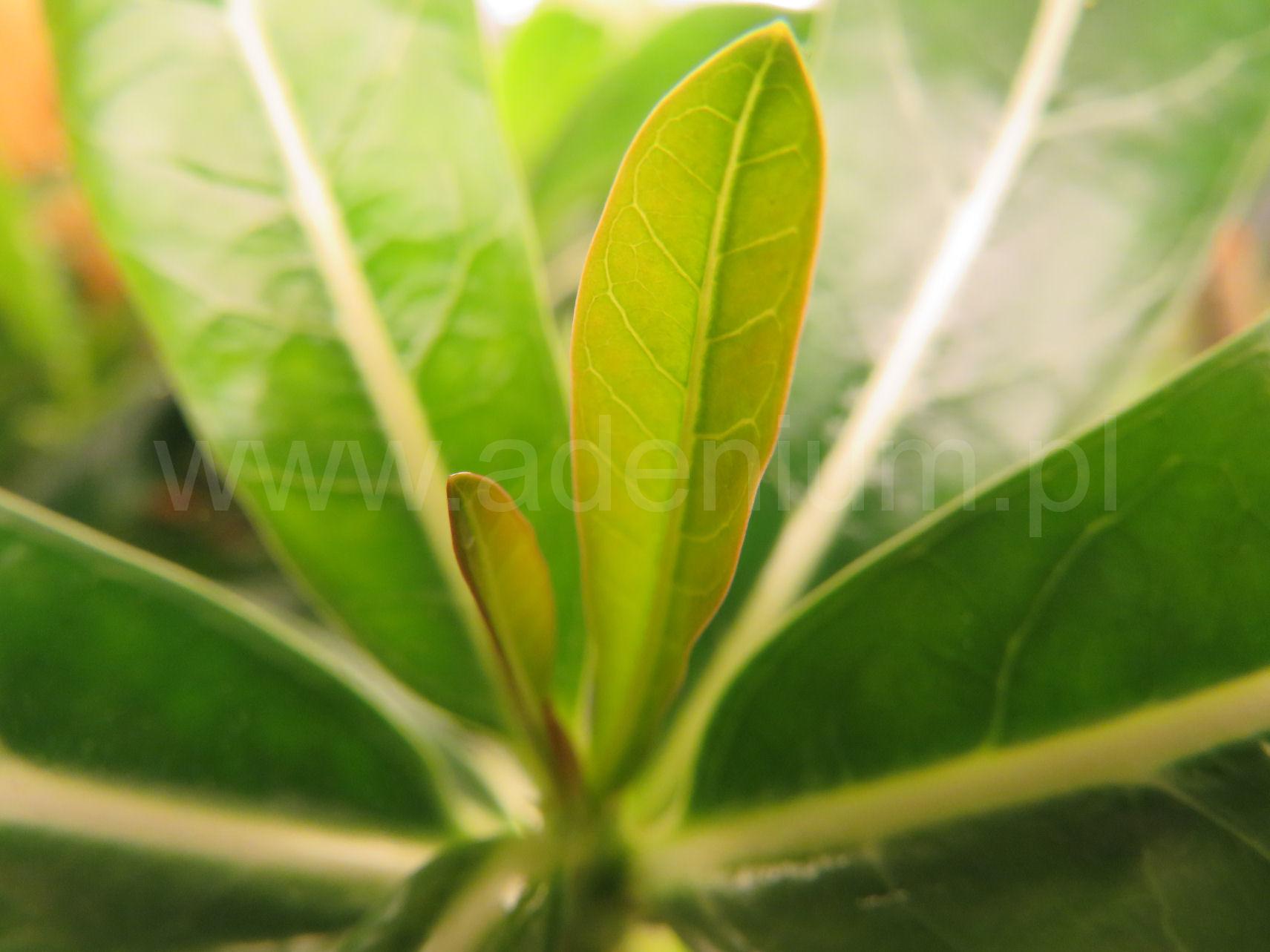 ADENIUM.PL - Adenium Róża Pustyni, mini Baobab, Najpiękniejsze Bonsai Świata!