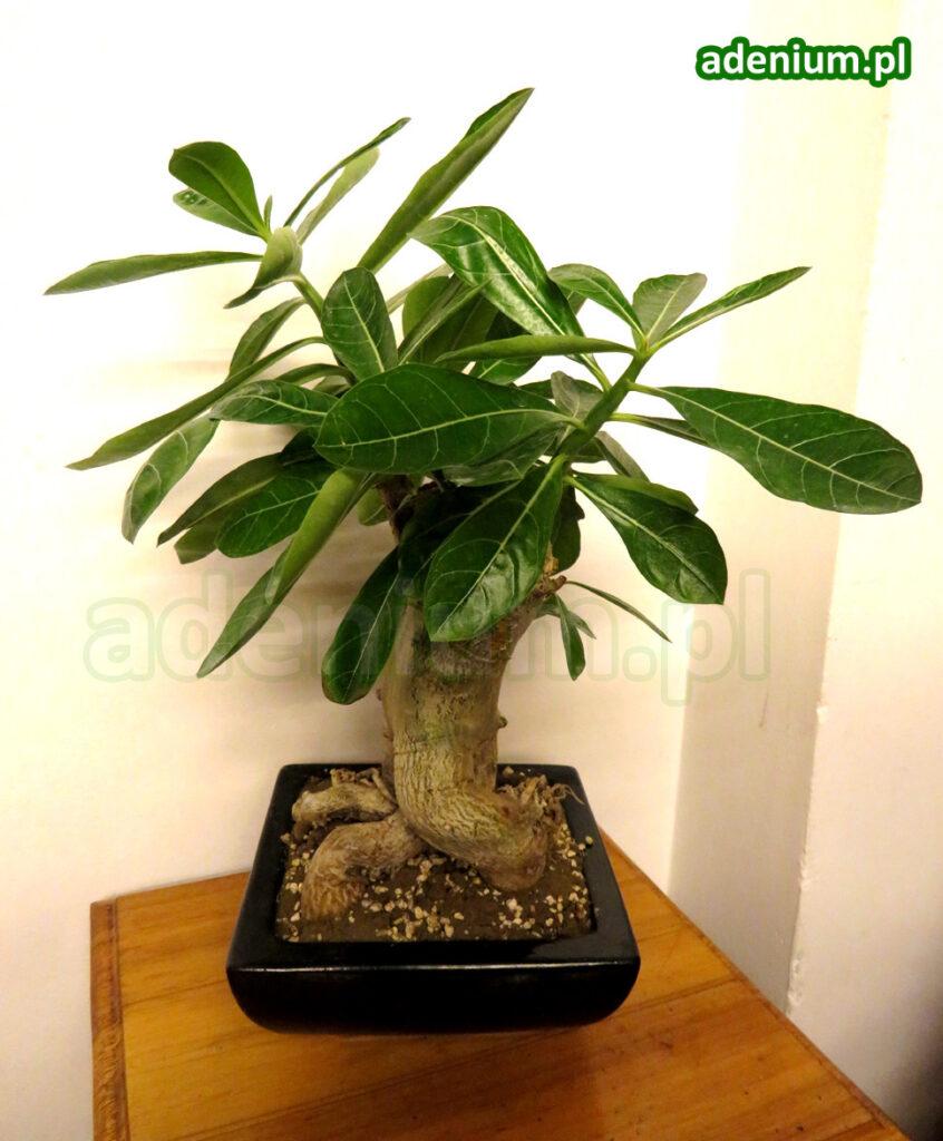 adenium_bonsai2_2 copy