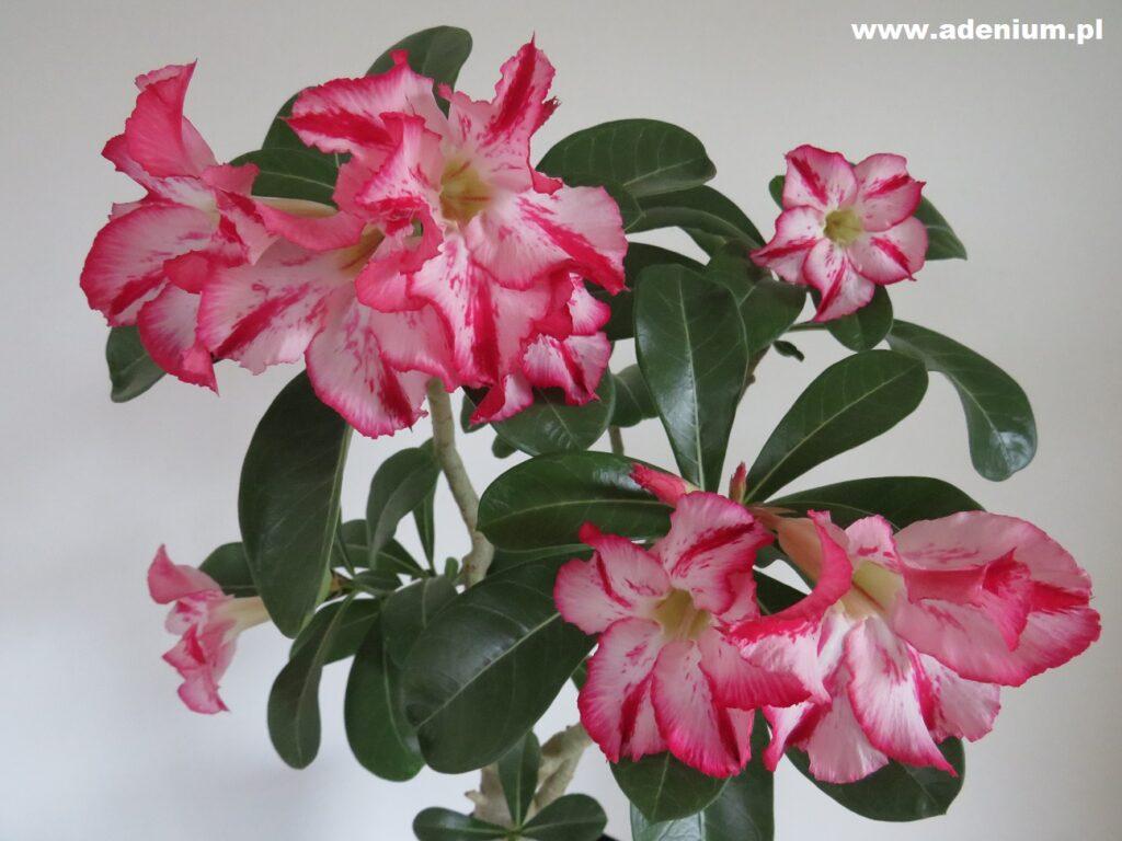 adenium_flower2