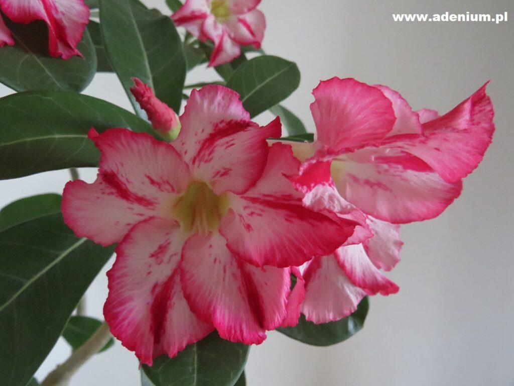 adenium_flower3