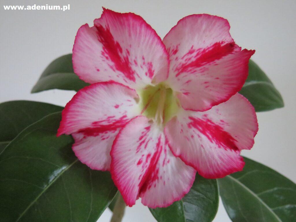 adenium_flower4